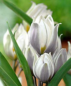 Tulipano multifiore Polychroma -  #tulipani #giardinaggio #fiori