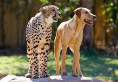 Google Image Result for http://www.animalfactguide.com/blog/wp-content/uploads/2012/04/kasimtani2-558x392.jpg