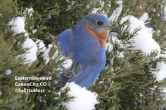 Got bluebirds? SeEtta's got tips for feeding them over on the Birds & Blooms Blog. For instance, they prefer mealworms, but will even eat cornmeal muffins!