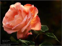 Autumn Rose by buma