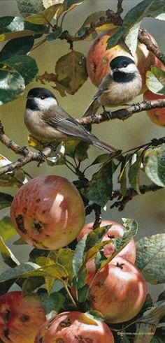 Chickadee and Apple Tree by Wildlife Artist Carl Brenders. The Black-capped chickadee(Poecile atricapillus) is a small, nonmigratory, North American songbird that lives in deciduous and mixed forests. Kinds Of Birds, Love Birds, Beautiful Birds, Small Birds, Little Birds, Pet Birds, Tier Fotos, Bird Pictures, Apple Tree