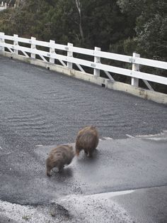 Wombats Crossing, Cradle Mountain NP Aboriginal People, Wombat, Tasmania, Brown Bear, Southeast Asia, Continents, North West, West Coast, Islands