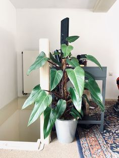 589 Best Philodendron Plants Images In 2020 Rare Plants, Exotic Plants, Green Plants, Tall Indoor Plants, Indoor Plant Pots, Plant Images, Plant Pictures, House Plants Decor, Plant Decor