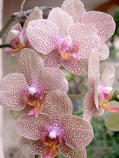 In a Perfect World. Phalaenopsis Orchid, Orchid Plants, Orchids, Exotic Flowers, Tropical Flowers, Beautiful Flowers, Blossom Garden, Orchidaceae, Beautiful Gardens