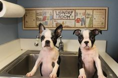 Bath Day! - These 16 Weeks Old Boston Terriers are Doing it Together  ► http://www.bterrier.com/?p=29854 - https://www.facebook.com/bterrierdogs