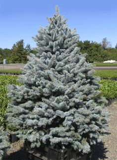 Baby Blue Spruce (15m high x 5m wide)Pyramidal spruce with silver blue foliage.  Great as a specimen. Full sun to light shade.  Zone 3. Canadale Nurseries Ltd.