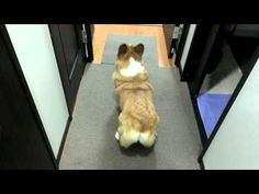Happy Corgi is a wigglebutt when it's time to fetch (VIDEO) » DogHeirs | Where Dogs Are Family « Keywords: wigglebutt, wiggle, Pembroke Welsh Corgi, fetch