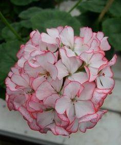 Пеларгония сорт Carmel