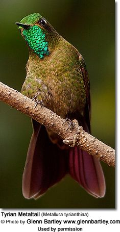 Tyrian Metaltail (Metallura tyrianthina)  hummingbird-They inhabit subtropical or tropical humid montanes and heavily degraded former forests.