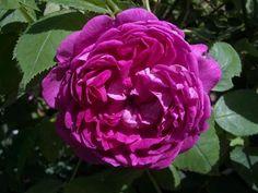 William Lobb   Shrub Rose