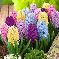 beautiful Hyacinth Mix 'Dutch Spring' at Bakker Spalding Exotic Flowers, Pretty Flowers, Beautiful Birds, Beautiful Gardens, Hyacinth Plant, Hyacinth Flowers, Plantas Bonsai, Buy Plants Online, Spring Bulbs