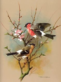 The Bullfinch - Vintage 1965 Bird Print by Basil Ede Pretty Birds, Beautiful Birds, Art Vintage, Vintage Frames, Vintage Stuff, Bullfinch, Bird Drawings, Bird Pictures, Little Birds