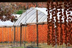 persimmon drying 干し柿 佐賀