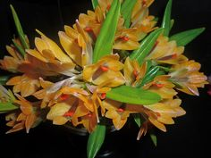 https://flic.kr/p/rcF4nu | Dendrobium vexillarius 1