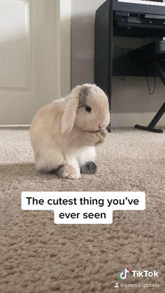 Cute Kawaii Animals, Cute Little Animals, Cute Funny Animals, Cute Dogs, Cutest Bunnies, Cute Baby Bunnies, Pet Bunny Rabbits, Pet Rabbit, Holland Lop Bunnies