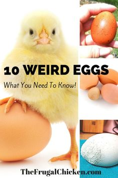 Got funky eggs? Abnormal chicken eggs happen to all of us - it& just a matter of time. Here& 10 weird eggs and everything you need to know. From FrugalChicken Raising Meat Chickens, Best Egg Laying Chickens, Types Of Chickens, Raising Backyard Chickens, Backyard Poultry, Pet Chickens, Chicken Humor, Chicken Runs, Chicken Life