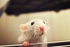 I want a pair of sister Dumbo Rats badly. Damn Australia for not having them!
