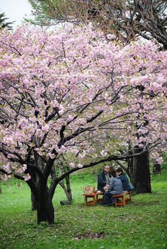 Hanami (flower watching party) Picnic