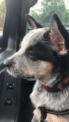 My cattle dog pup moo moo https://i.redd.it/i8whlp6jgqf01.jpg