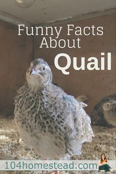 Many things the quail do will scare the bejeezus out of you when they first do it. That's why I felt it was my duty to give you a heads up with these funny facts about quail.