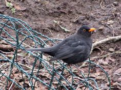 Mustrastas Bird Gif, Blackbird, Beautiful Birds, Animals And Pets, Animation, Nature, Birds, Naturaleza, Pets