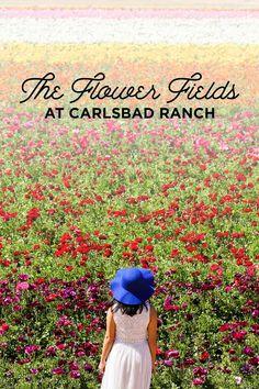 It's Ranunculus Season at the Carlsbad Flower Fields! // localadventurer.com
