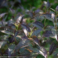 Kodiak Black Rvilla 3 Weesies New 2016 Plants Garden Nursery Annual