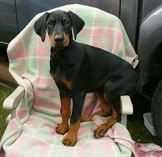 Doberman puppy sitting in a chair