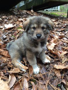 Great Pyrenees And German Shepard Mix Shepard Dog Breeds Great