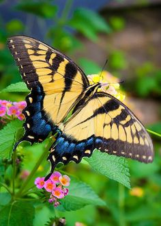 Swallowtail by Megan Thompson borboleta de cauda de andorinha papilo glaucus Especie Animal, Mundo Animal, Butterfly Kisses, Butterfly Flowers, Beautiful Bugs, Beautiful Butterflies, Moth Caterpillar, Butterfly Pictures, Bugs And Insects
