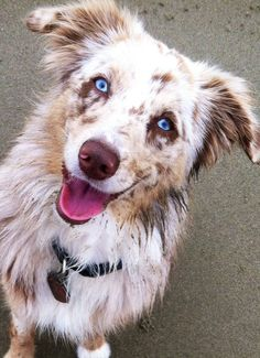 Beautiful Finley. 8 month old Red Merle Mini Aussie