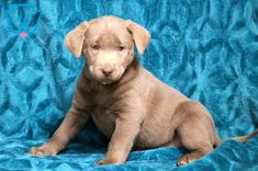 She is a Beautiful Silver Labrador Retriever ready for adventure. This baby is as social as they come sure to load you with puppy kisses. Bullion Coins, Silver Bullion, Silver Labrador Retriever, Eagle For Sale, Daisy Mae, Coins For Sale, Silver Eagles, Puppies For Sale, African