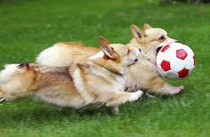 I adore this because corgis are awesome and I used to play soccer with Hal, one of my parents' corgis.