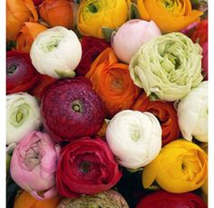 I WILL figure out how to grow ranunculus in my yard in the next few years!  CLK