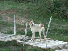Cão na pinguela