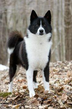 Karelian Bear Dog ❤️