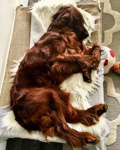 """484 Likes, 7 Comments - Irish Setter Moments (@irishsettermoments) on Instagram: """"To be featured #irishsettermoments From: @rorytheirishsetter By: Tag your friends below …"""""""