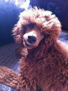 Smiley Poodle