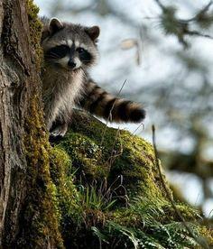 Peeking Racoon
