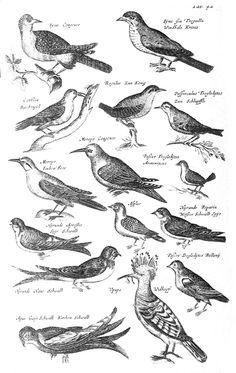 Jonston - Category:John Jonston - Wikimedia Commons Planche tirée de Natural history of birds (1650-1653) de John Jonston Source : Gravure du XVII siècle, tombée dans le domaine public. Artiste : Anna Maria Sibylla Merian.