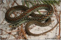 Apalachicola Garter Snake