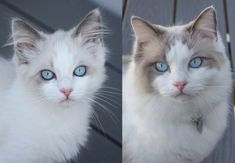 My cat Sam age 13 weeks vs 13 months by HarbingerDawn. What you think about?