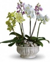 Regal Orchids Plants---union members save 20% with Union Plus! Click to save!