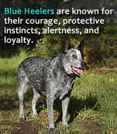 Characteristics of Australian cattle dog or blue heeler