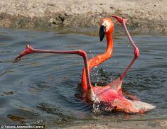 flamingos pictures   Planeta Bicho » Flamingo se desequilibra e leva tombo em zoológico ...