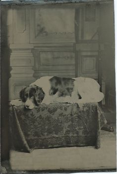 c.1870s 1/6-plate tintype of a Landseer lying on a patterned cloth-draped platform, in front of a photographer's painted backdrop. From bendale collection