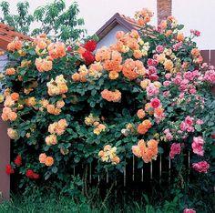 Ruže trpia viacerými hubovými chorobami. Tri z nich sa na náchylných odrodách vyskytujú takmer pravidelne, preto treba počas vegetačného obdobia proti nim pravidelne zasahovať. Plants, Plant, Planets