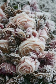 Frost covered roses