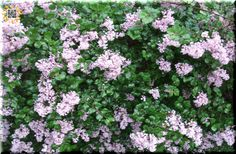"""Think of Spring :) #Free """"Lilac"""" Twitter Background Image. (left-click twice to download the right size to fit in Twitter.com)"""