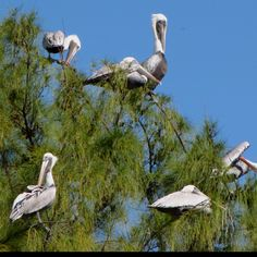 Pelicans resting on a palm tree, Sanibel Island.